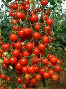 بذر گوجه چری قرمز گلخانه ای