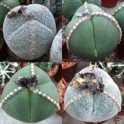 بذر آستروفیتوم سه گوش - خاص و زیبا
