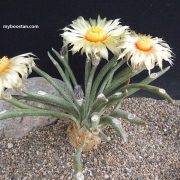 بذر استروفیتوم کاپوت مدوسا - 5 عدد