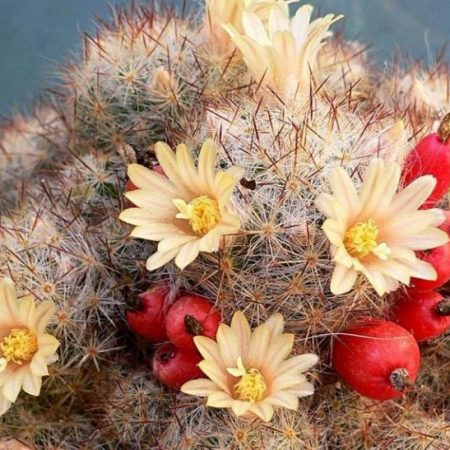 فروش بذر کاکتوس بوستان