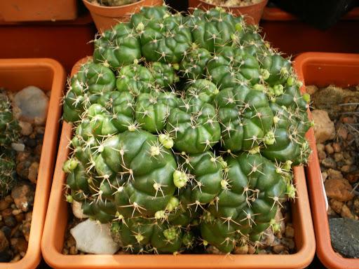 بذر کاکتوس ژمینو انیستسی