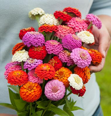 فروش بذر گل آهار