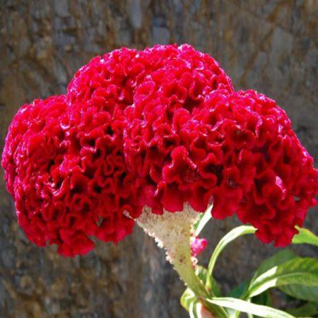 فروش بذر گل تاج خروسی