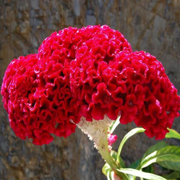 بذر گل تاج خروسی - بوستان