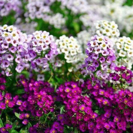 خرید بذر گل عسل - آلیسوم