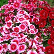 بذر گل قرنفل در چند رنگ مخلوط