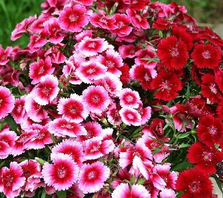 گل قرنفل الوان رنگارنگ