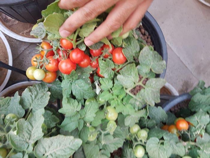 بذر گوجه چری مینیاتوری پاکوتاه