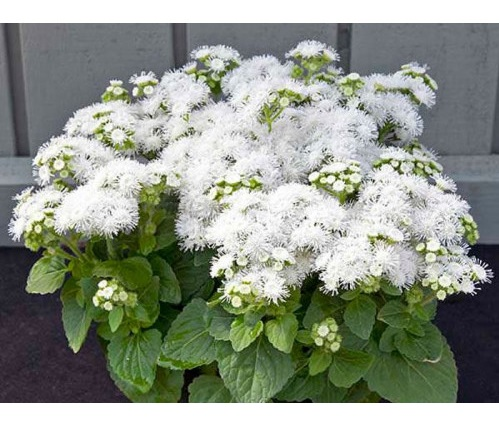 کاشت گل ابری سفید
