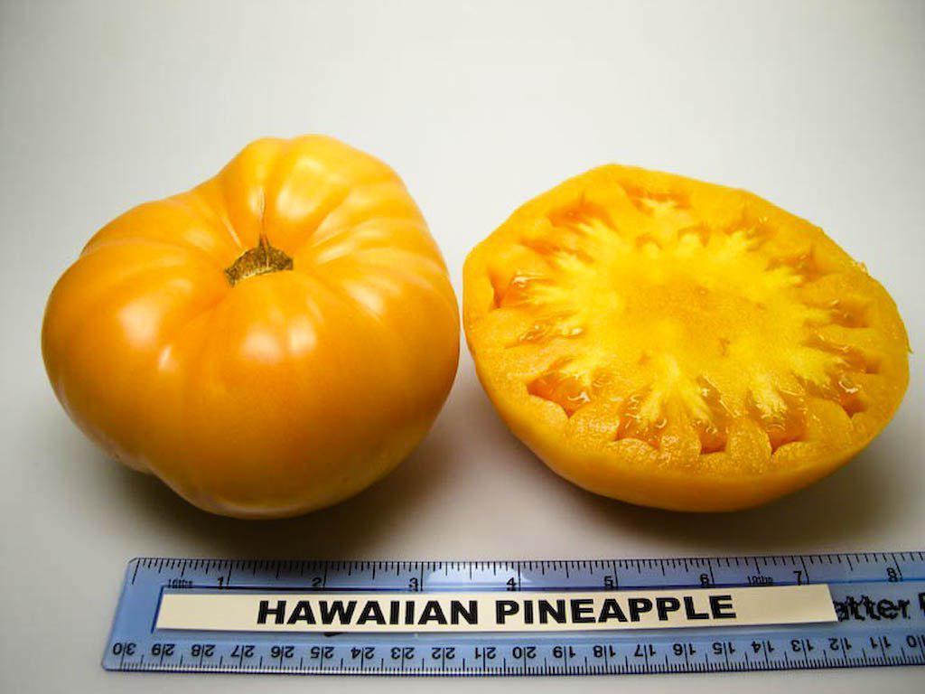 فروش بذر گوجه چروک – زرد آناناسی