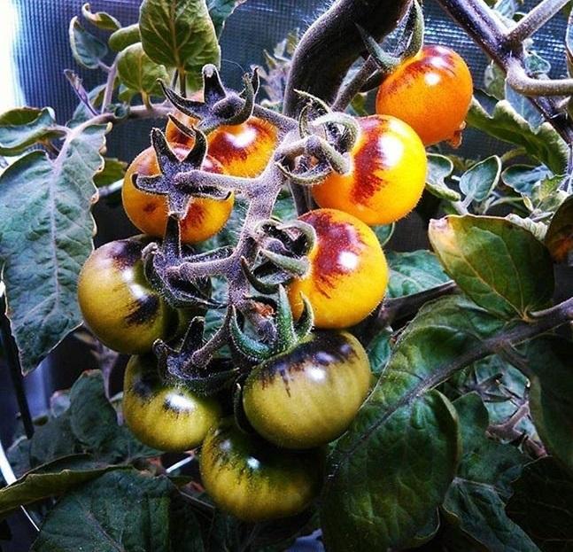 گوجه چری خاص دو رنگ blue gold tomato