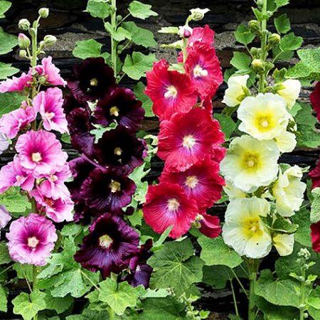 بذر گل ختمی الوان
