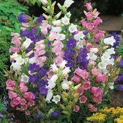 بذر گل استکانی هلندی در چند رنگ