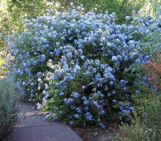 گل یاس آبی