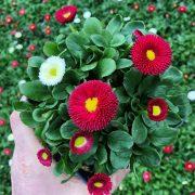 بذر گل مینا چمنی در چند رنگ مخلوط