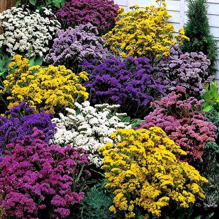 بذر گل شصت عروسان میکس (  استاتیس یا لیمونیوم )