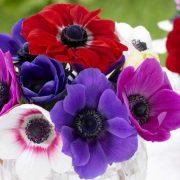 بذر گل آنمون ( شقایق نعمانی ) مخلوط در چند رنگ