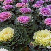 بذر گل کلم - کلم زینتی