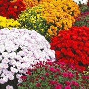بذر گل داوودی پاکوتاه و بسیار پر گل در چند رنگ