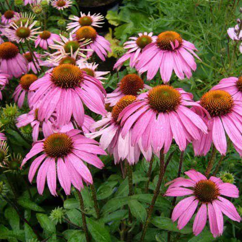 بذر گل سرخارگل صورتی پامتوسط