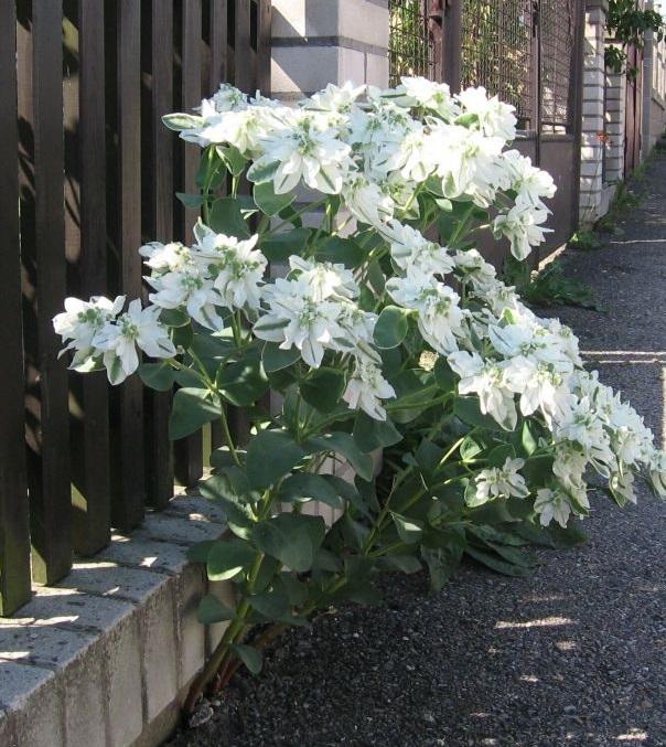 بذر گل چینی پامتوسط سفید