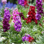 بذر گل شب بو پابلند در چند رنگ