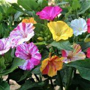 بذر گل لاله عباسی ابلق و ساده مخلوط