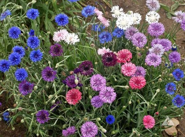 گل گندم پاکوتاه رنگارنگ الوان