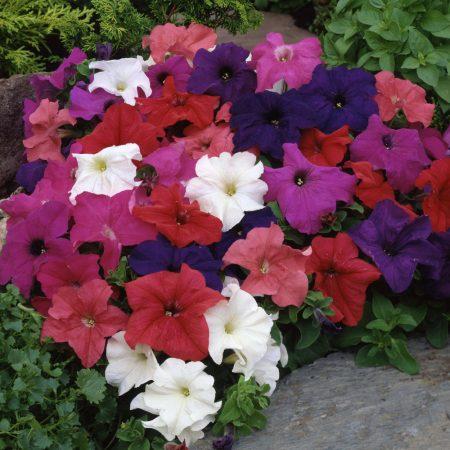 گل اطلسی معطر