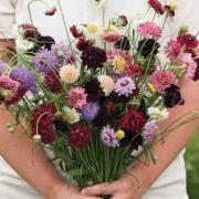 گل درخشنده ، پامتوسط در چند رنگ مخلوط