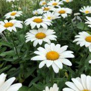 فروش بذر گل مارگریت پامتوسط سفید