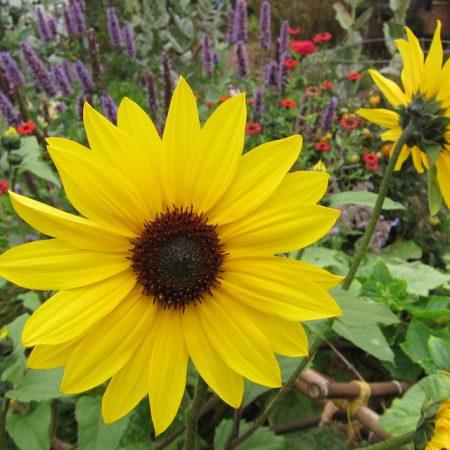 بذر گل آفتاب گردان