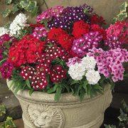 گل شاهپسند یکساله ، الوان و خوشبو