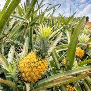 همه چیز در مورد پرورش و کاشت حرفه ای آناناس